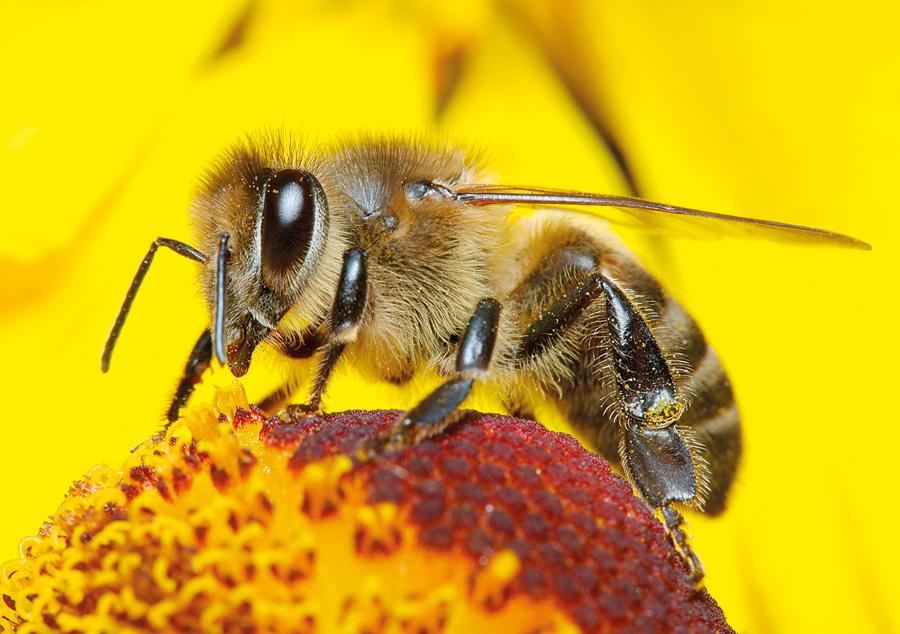 النحل - الحشرات